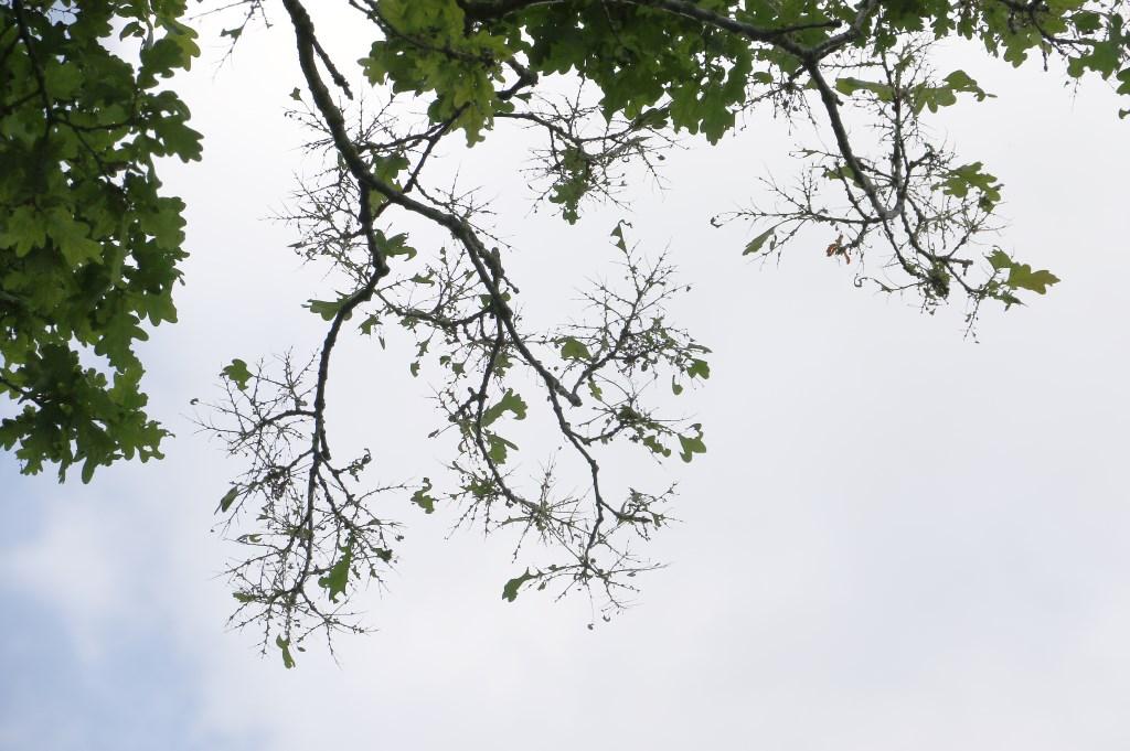 De eikenprocessierups is bezig aan een opmars in Breda. Een kaalgevreten tak aan een boom bij de noordelijke rondweg. Foto: WIJNAND NIJS © BredaVandaag