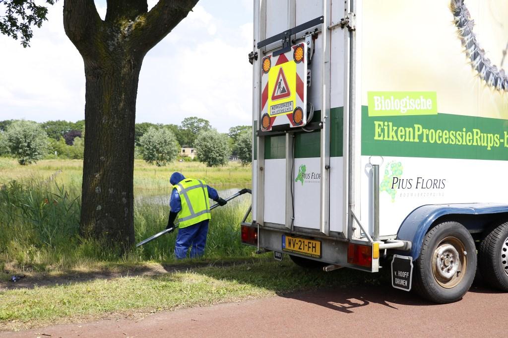 De eikenprocessierups is bezig aan een opmars in Breda.  Foto: WIJNAND NIJS © BredaVandaag
