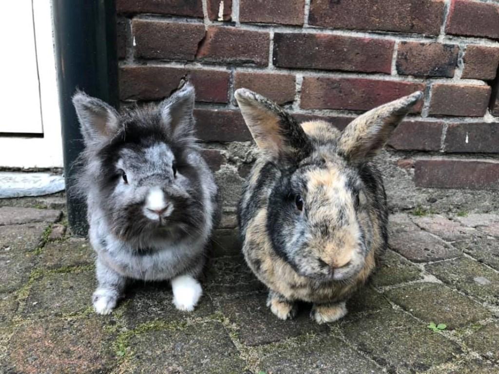 Rambo en Rocky. Twee lieve eigenwijze en zeker de meest verwende konijnen uit Roosendaal en omstreken Foto: Amy Francken © Internetbode