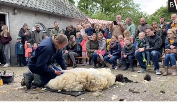 Een schapenscheerder laat aan het publiek zien hoe het moet.  Foto: Youtube BredaVandaag © BredaVandaag