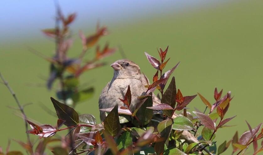 De huismus is een beschermde vogelsoort.