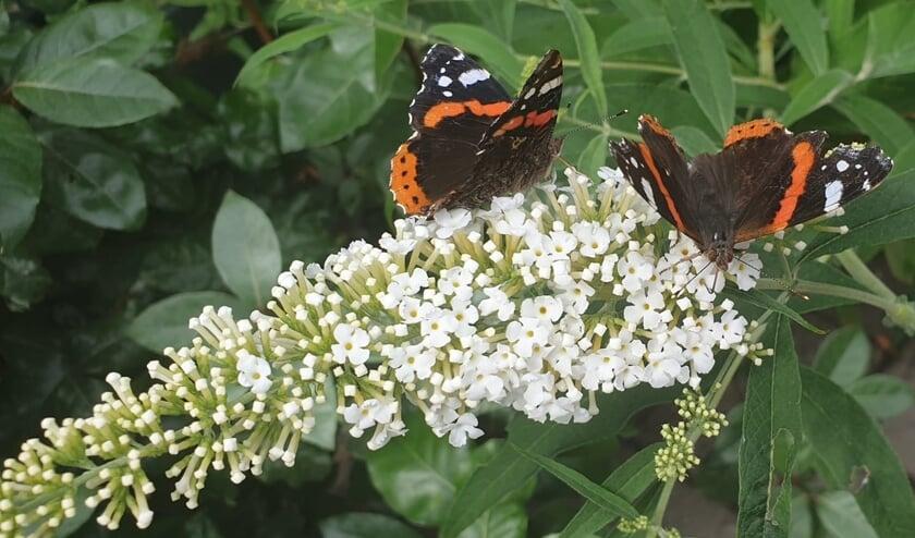 De maatregelen van Operatie Steenbreek bevorderen onder andere de bijen- en vlinderpopulatie.