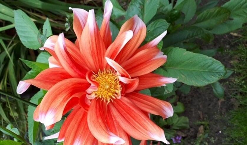 <p>Kleurrijke dahlia foto van Elly-Ann Voerman.</p>