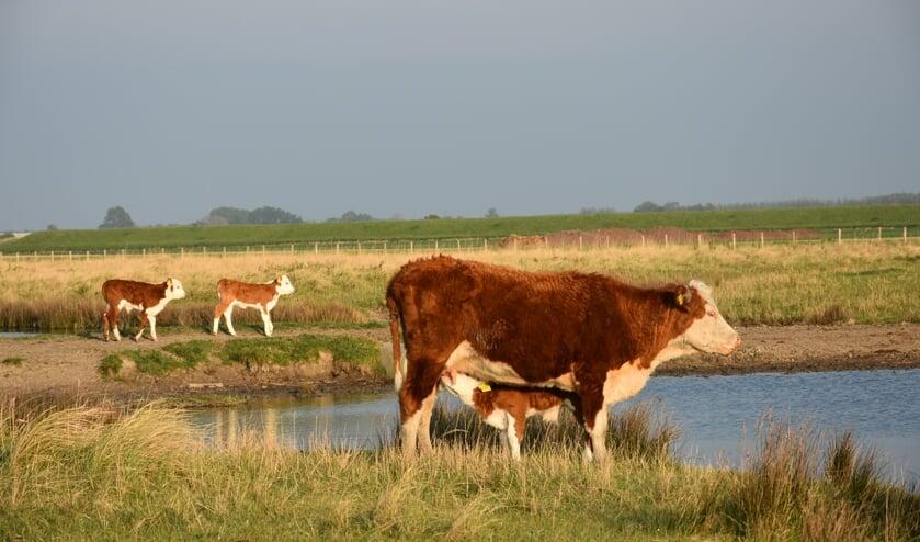 De moederdieren met kalfjes lopen in natuurgebied De Middelplaten bij het Veerse Meer.