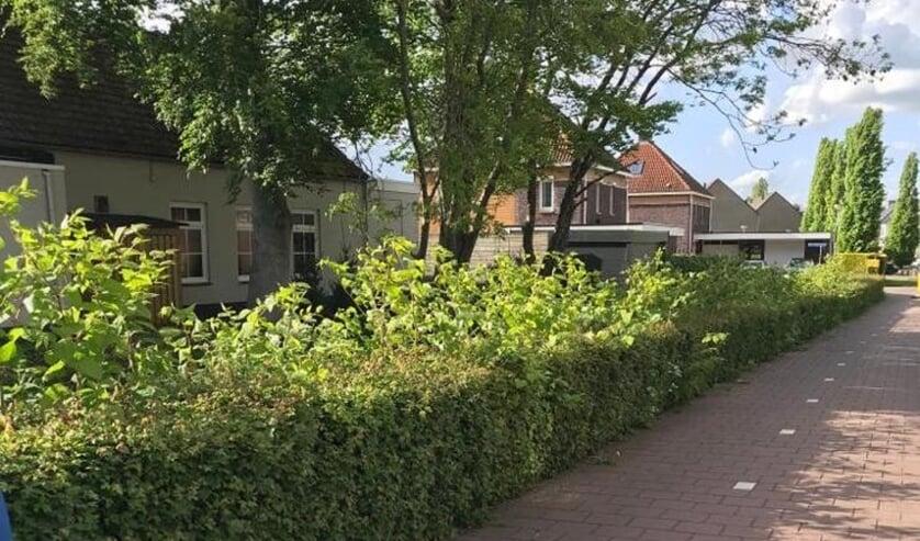 Invasieve exoten zorgen in Steenbergen en omgeving voor steeds meer overwoekering.
