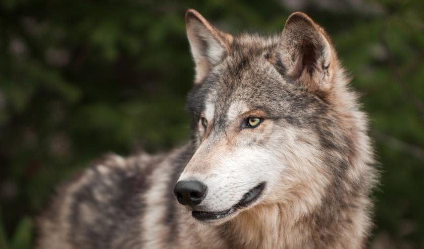 wolf_54733171