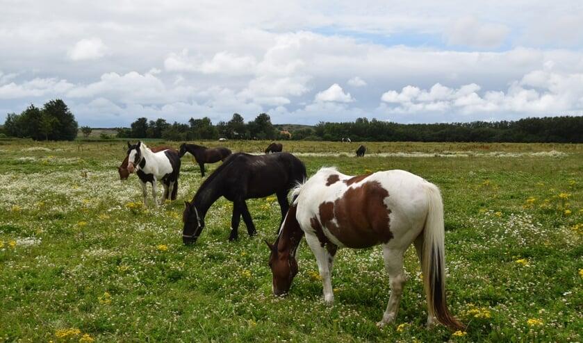 Anne-Marie van Iersel stuurde deze foto in van grazende paarden langs de kust bij Westduin.