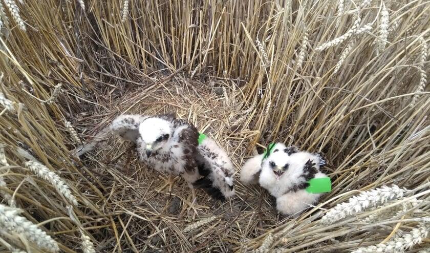 Een nest bruine kiekendieven op akkerland heeft bescherming nodig.