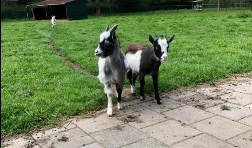 De moeder van de twee kleine geitjes is overleden